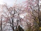 大泉の枝垂れ桜