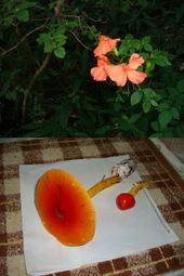 フシグロセンノウの花とタマゴダケ