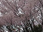 御嶽神社の桜
